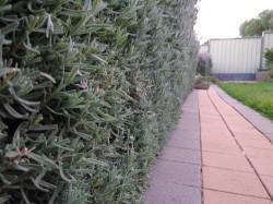 Hedge – N1